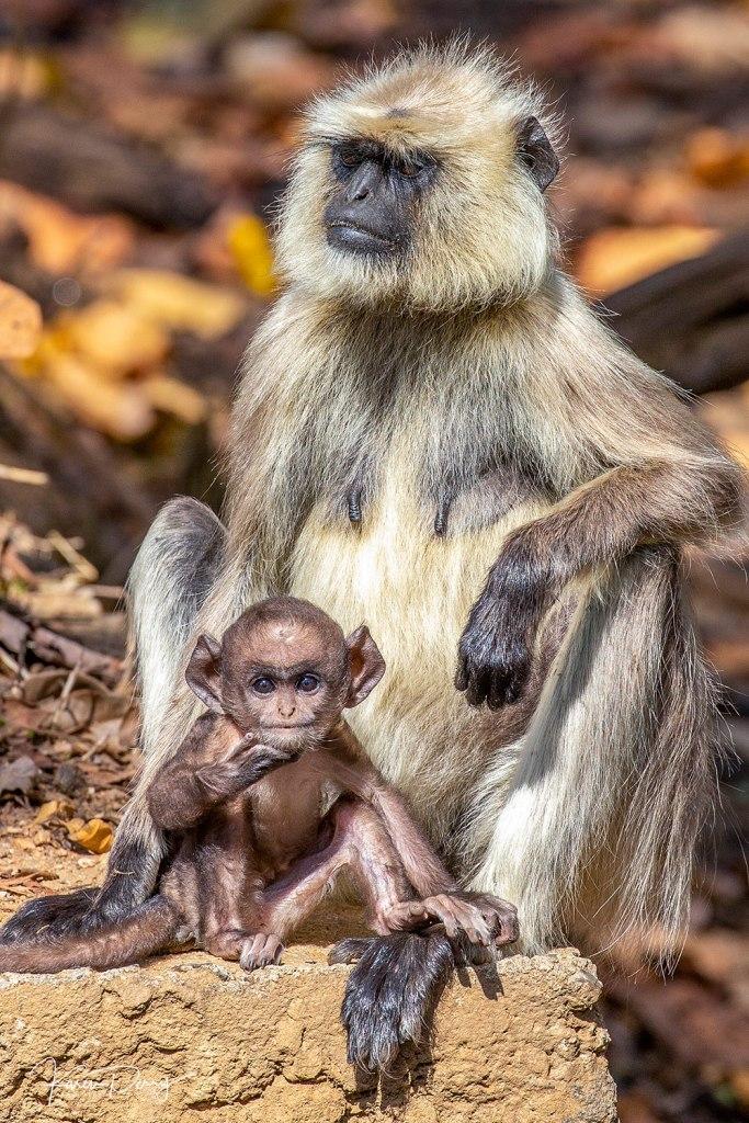 monkey baby in india