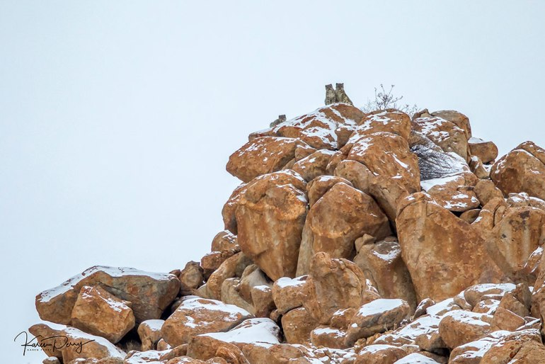 snow leopard on rock in India