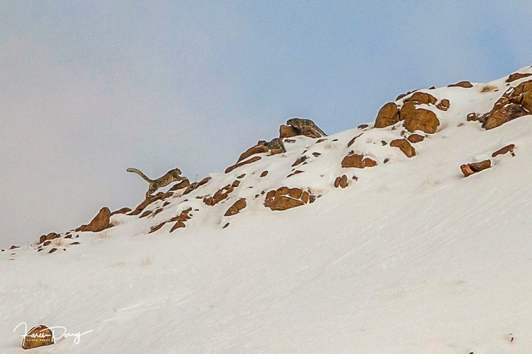 snow leopard leaping in india