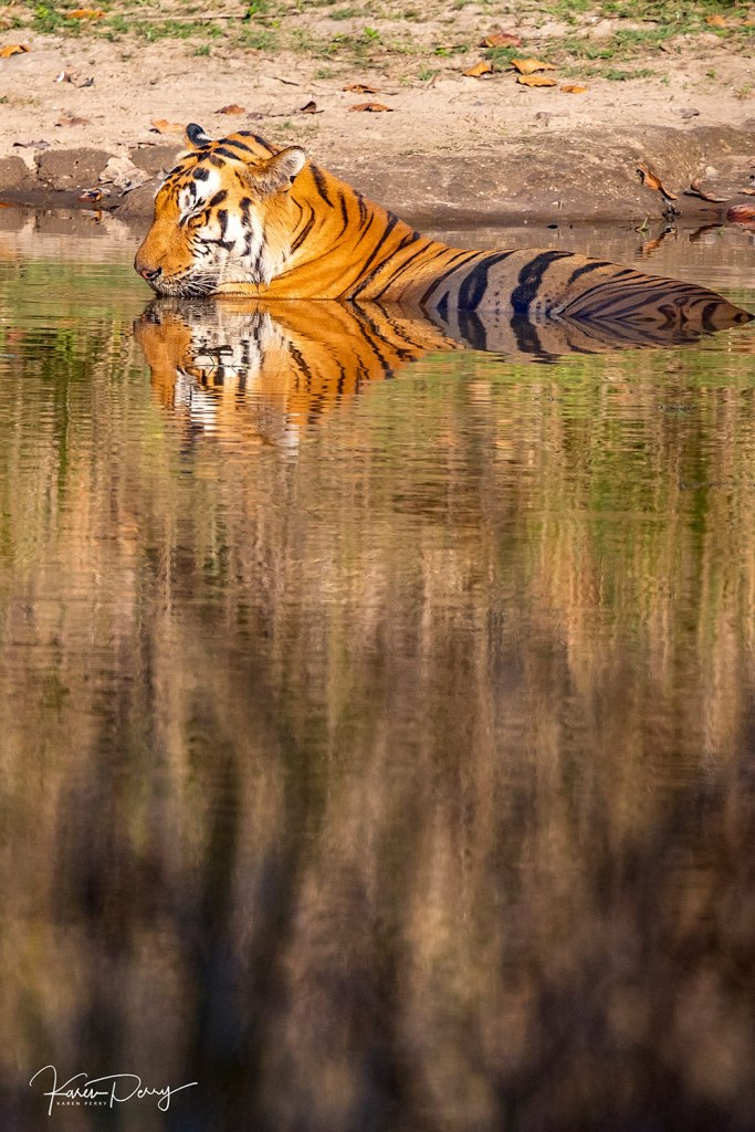 tiger in water in india