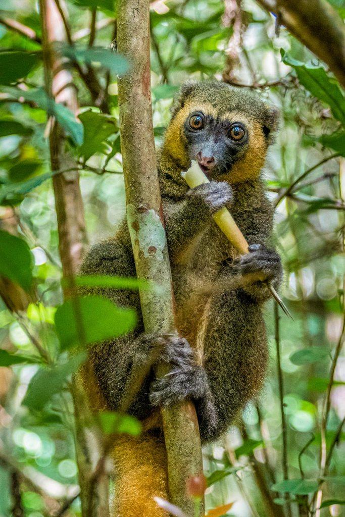 Bamboo lemur in Madagascar