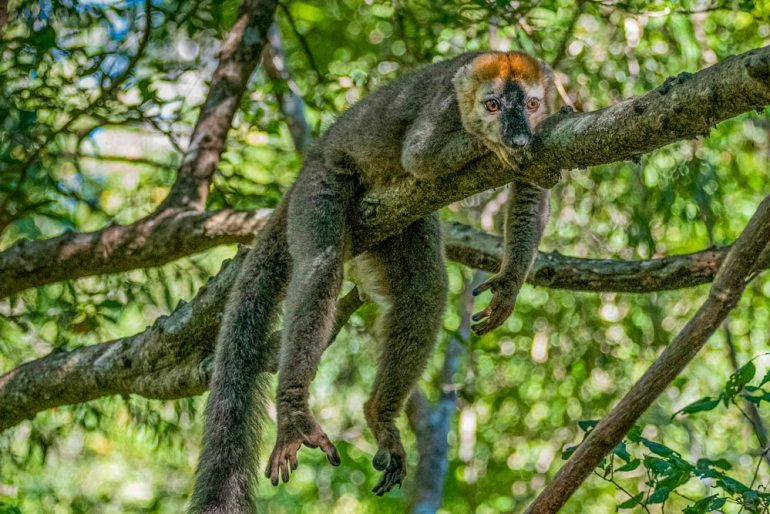 crowned lemur in Madagascar