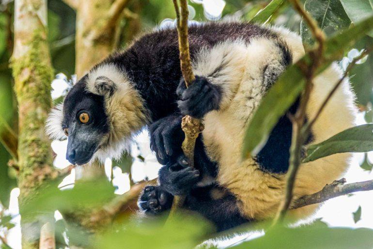 indri lemur in Madagascar