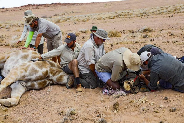 giraffe conservation in Namibia