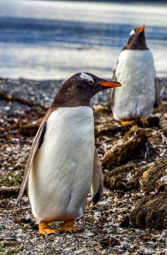 gentoo penguin in tierra del fuego patagonia