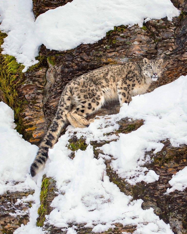 india-Snow-Leopard