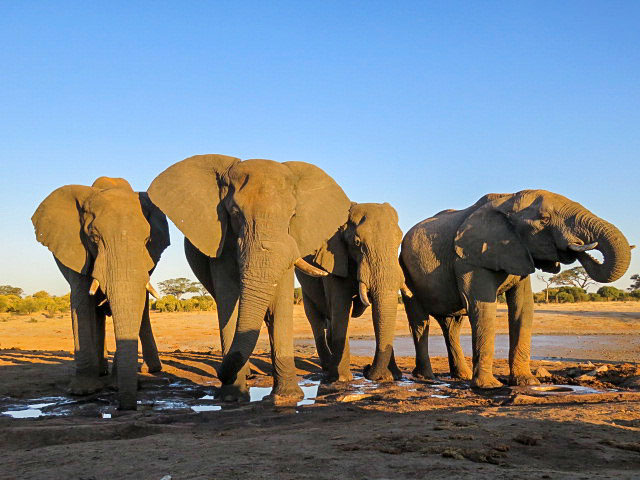 elephants drinking water in zimbabwe