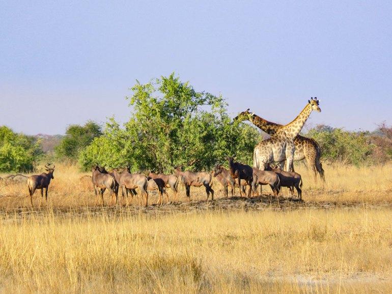 giraffe in zimbabwe
