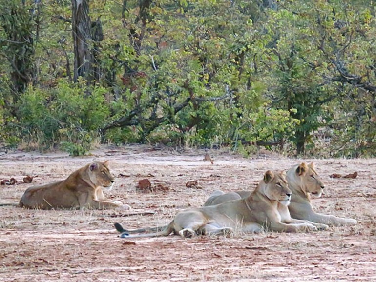 lions by road in zimbabwe