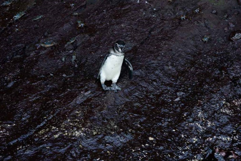 penguin in the galapagos