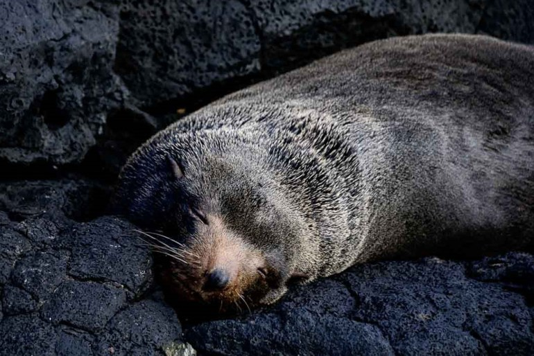 sleeping seal in the galapagos