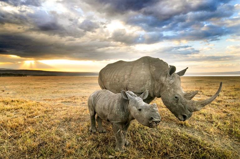 baby white rhino in Africa