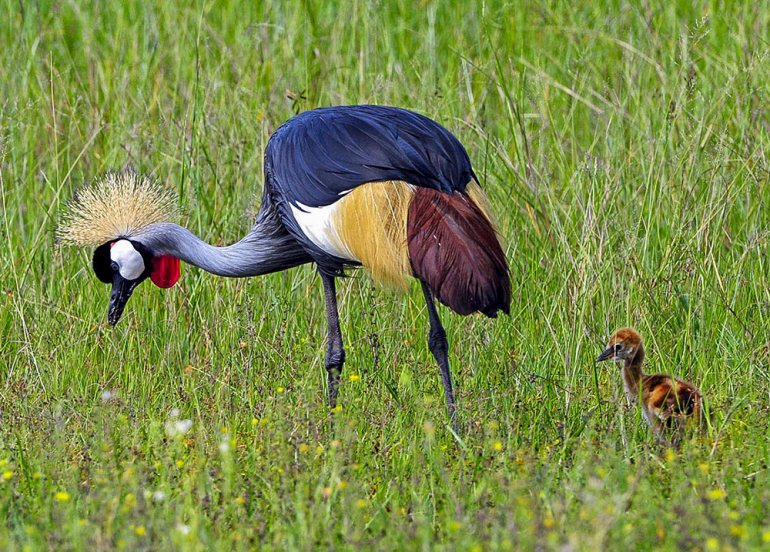 grey crowned crane in Africa