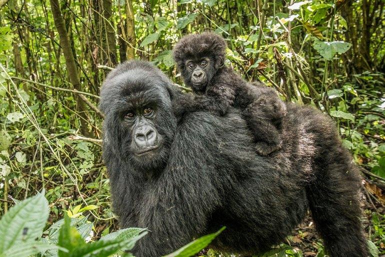 infant gorilla in Africa
