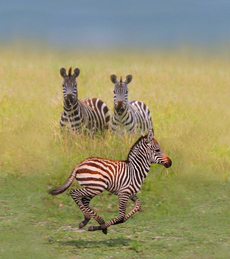 zebra colt in Africa