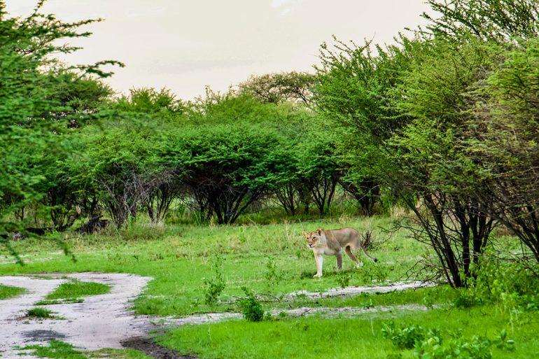 Namibia green season lioness stalking giraffe
