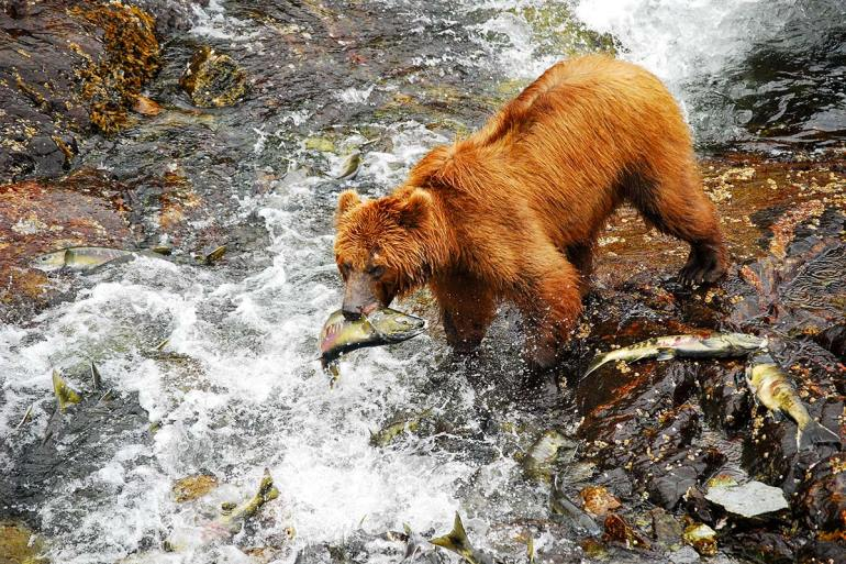 alaska inside passage grizzly eating a fish