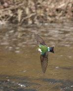 Violet Green in Flight
