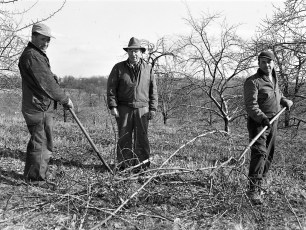 Lyle (c) and Bob (r) Fingar pruning trees March 1954