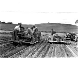 Burton Fraleigh Farm Potato Harvest Clermont 1959 (2)