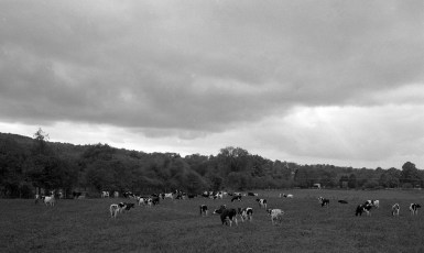 Burton Fraleigh Farm dairy herd Clermont 1959