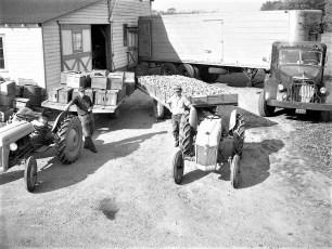 Vernon Rockefeller packing & shipping apples 1951 (1)