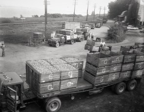Pott's loading pears railway station G'town 1961