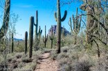 A forest of Saguaro in the Superstitions.