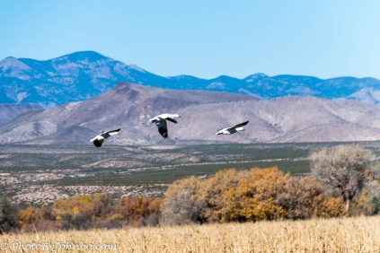 A trio of snow geese