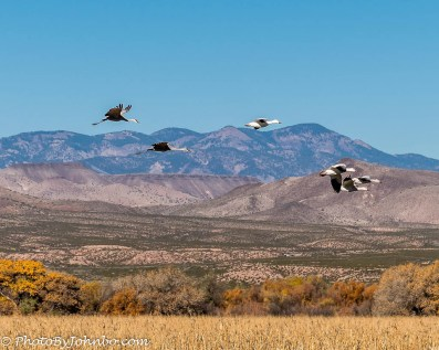 Snow geese and Sandhill cranes