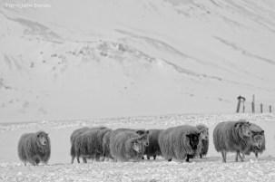 Troupeau dans la neige, Islande, Mars 2016