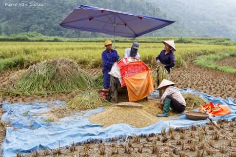 Récolte du Riz, Nord Vietnam, Octobre 2016