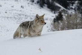 Coyote, Parc National de Yellowstone, Etats-Unis, 22 Janvier 2017