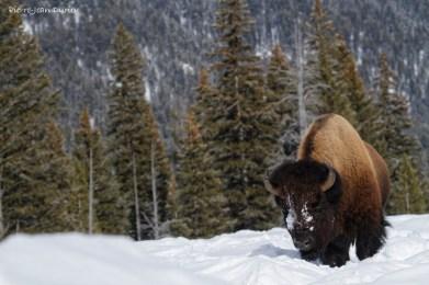 Bison dans la neige, Parc National de Yellowstone, Etats-Unis, 23 Janvier 2017