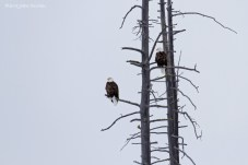 Aigles, Parc National de Yellowstone, Etats-Unis, 26 Janvier 2017