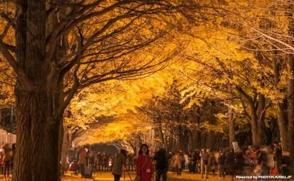 北海道大学イチョウ並木のライトアップ