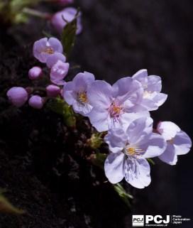 木の幹から咲く桜