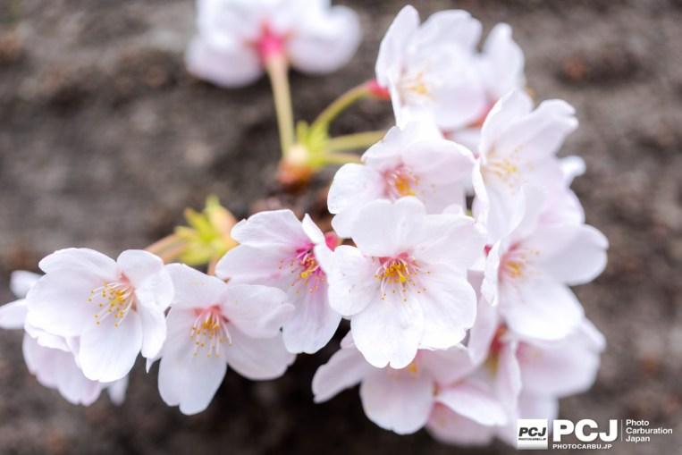 枝に咲いている桜も綺麗ですが、幹に咲いているのも良い