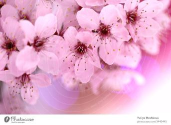 spring cherry flowers cherry pink flowers close up on a blurred pink background Spring tender floral background in pastel colors a Royalty Free Stock Photo from Photocase