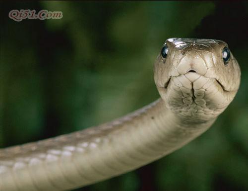 世界8大最毒的蛇 非洲死神黑曼巴蛇居首-搜狐旅游