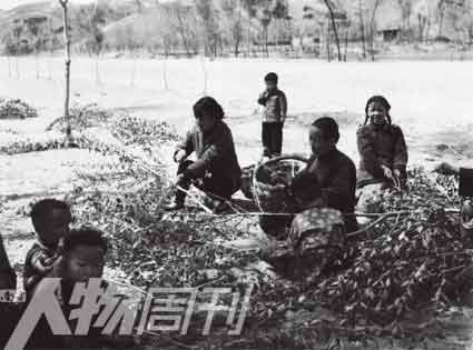 1960年,河北阜平史家寨公社张龙凹大队,农民摘食树叶充饥