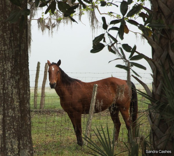 Chica - Horse from Dudley Farm Historic State Park