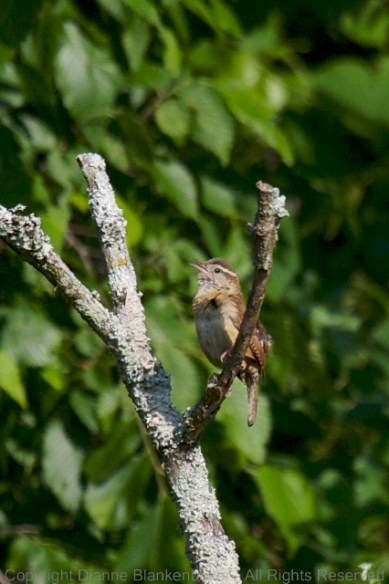 Carolina Wrens may not be all that exciting, but I do love when they're sitting in the sun.