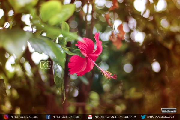 Hibiscus Flower Photo - on photoclickclub