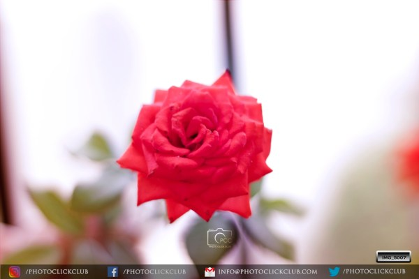 Floribunda Roses wallpapers- on photoclickclub