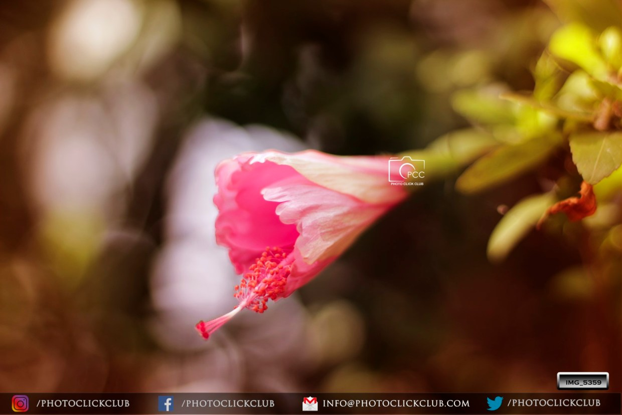 The Birth of Hibiscus Flower - on photoclickclub