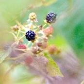 Macro of blackberries with colorful bokeh