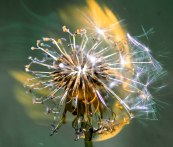 Macro of dandelion seeds and fluff on fire with green bokeh
