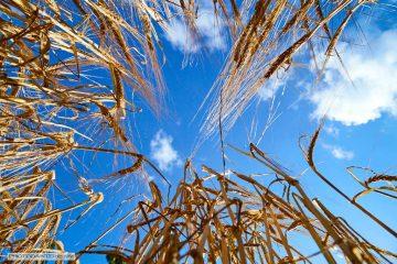 graan, blauwe lucht, baarle