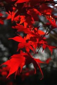 Maple leaves vertical